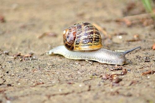 Snail crawling in wet soil