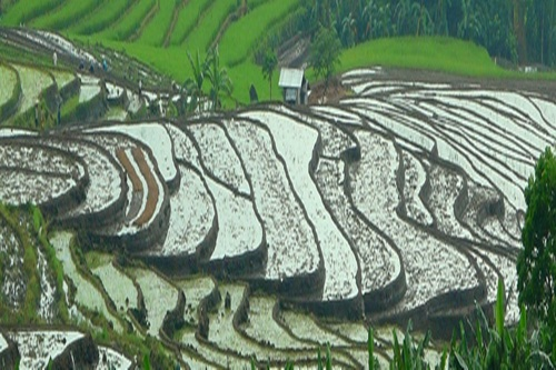 Paddy Field in the slope of the hill