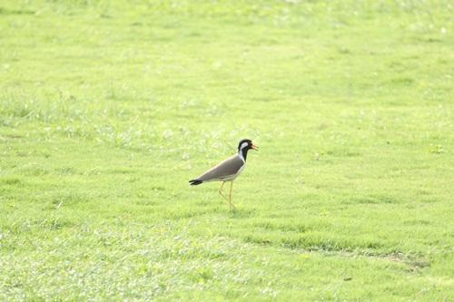 Bird in the field by herself